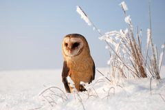Barn owl (tyto alba) Stock Image