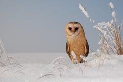 Barn owl (tyto alba). Barn owl sit on snow Royalty Free Stock Image