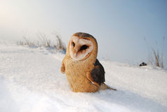 Barn owl (tyto alba) Royalty Free Stock Photography