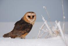 Barn owl (tyto alba). Barn owl sit on snow Stock Image