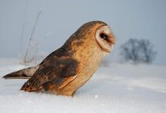 Barn owl (tyto alba). Barn owl sit on snow Royalty Free Stock Photography