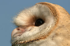 Birds of Prey - Barn Owl (Tyto alba). Close up of Barn Owl against blue background Stock Image