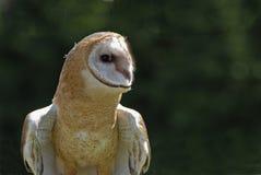 Barn owl (tyto alba). Barn owl portrait shot with telephoto lens Royalty Free Stock Images