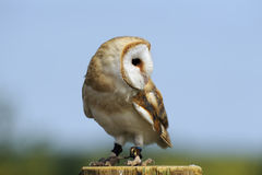 Barn owl (tyto alba). A barn owl perched on a post, landscape Royalty Free Stock Photo
