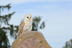 Barn Owl (Tyto alba) Stock Photography
