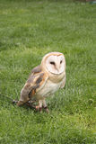 Barn Owl, Tyto alba Royalty Free Stock Photo