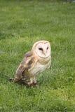 Barn Owl, Tyto alba. Tethered barn owl standing on ground Royalty Free Stock Photo