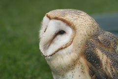 Barn Owl, Tyto alba Stock Photo