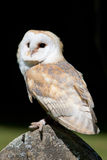 Barn Owl (Tyto alba). Barn Owl perched on old grave stone Royalty Free Stock Image