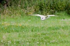 Barn Owl (Tyto alba). Barn Owl in mid flight at low level Stock Image