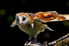Barn Owl Tyto Alba Stock Photo