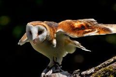 Barn Owl Tyto Alba. Looking for Prey Stock Photo