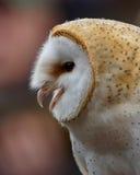 Barn Owl /  tyto alba. Profile Of A Barn Owl Royalty Free Stock Photo