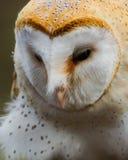 Barn Owl /  tyto alba. Profile Of A Barn Owl Royalty Free Stock Image