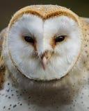 Barn Owl /  tyto alba. Profile Of A Barn Owl Stock Photos