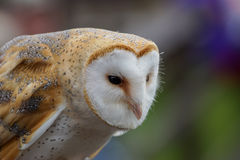 Barn Owl /  tyto alba Stock Photography