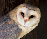Free Barn Owl (Tyto Alba) Royalty Free Stock Photo - 33500365