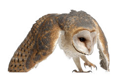 Barn Owl, Tyto alba, 4 months old. Against white background Stock Image