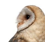 Barn Owl, Tyto alba, 4 months old, close up. Against white background Royalty Free Stock Image