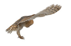 Barn Owl, Tyto alba, 4 months old, flying Royalty Free Stock Photo