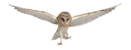 Barn Owl, Tyto Alba, 4 Months Old, Flying Royalty Free Stock Images