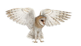 Barn Owl, Tyto alba, 4 months old, flying Stock Images