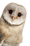 Barn Owl, Tyto alba, 4 months old, portrait royalty free stock photography