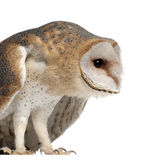 Barn Owl, Tyto alba, 4 months old, standing. Against white background Stock Photography
