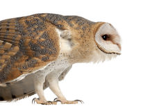 Barn Owl, Tyto alba, 4 months old, standing Stock Photos