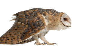 Barn Owl, Tyto alba, 4 months old, standing Stock Images