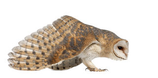 Barn Owl, Tyto alba, 4 months old, standing royalty free stock photo