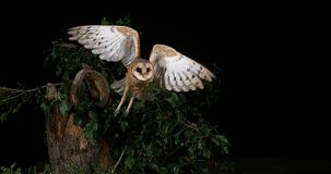 barn owl tyto alba adult in flight normandy slow motion k stock video