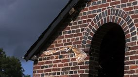Barn Owl, tyto alba, Adult in Flight, Taking off from Attic, Normandy in France stock video footage