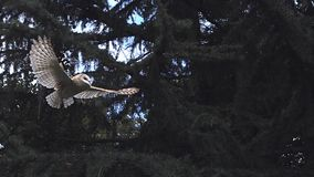 Barn Owl, tyto alba, Adult in Flight, Taking off from Tree, Normandy stock video footage