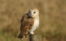 A Barn Owl (Tyto alba) all fluffed up looking for its next meal. Stock Image