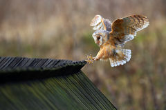 Barn owl, Tyto alba, bird landing on wooden roof, action scene in the nature habitat, flying bird, France Stock Photo
