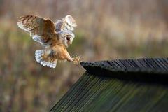 Barn owl, Tyto alba, bird landing on wooden roof, action scene in the nature habitat, flying bird, France Royalty Free Stock Photos