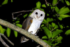 Barn Owl Tyto alba Stock Photos