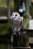 Barn owl (Tyto alba) Royalty Free Stock Images
