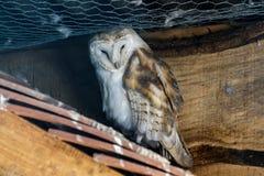Barn Owl (Tyto alba) Royalty Free Stock Photography