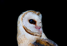 Barn Owl ( Tyto alba ) Royalty Free Stock Image