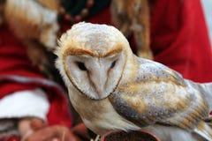 Barn owl Tyto alba Royalty Free Stock Photo