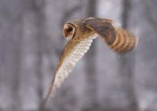 Barn Owl Tyto alba. Color photo of  Barn Owl Royalty Free Stock Image