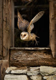 Barn Owl Tyto alba. Color photo of  Barn Owl Royalty Free Stock Images