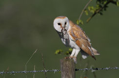 Barn Owl (Tyto alba) with a Common shrew (Sorex araneus) lunch. A Barn Owl (Tyto alba) with a Common shrew (Sorex araneus) lunch, sitting on a post about to eat Stock Photos