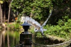 Barn owl (Tyto alba) Stock Photography