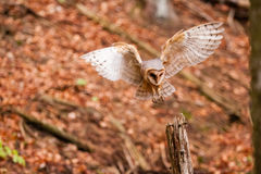 The Barn Owl Tyto alba Royalty Free Stock Photography