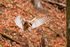 The Barn Owl Tyto alba Stock Photos