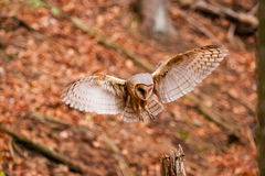 The Barn Owl Tyto alba Stock Images