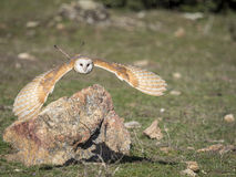 Barn owl Tyto alba flying in a falconry exhibition Stock Photography